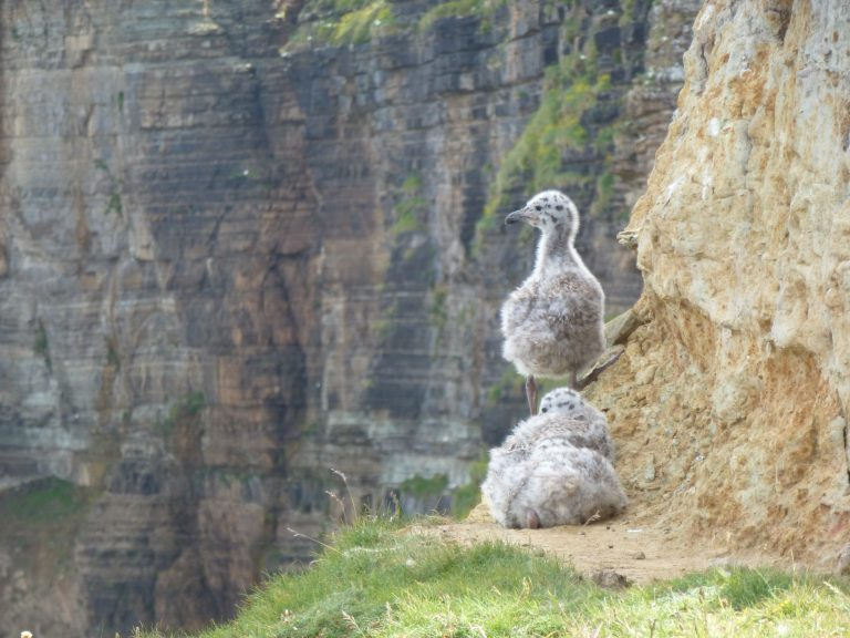 Two seagull chicks on the clifs of Stroma, Orkney