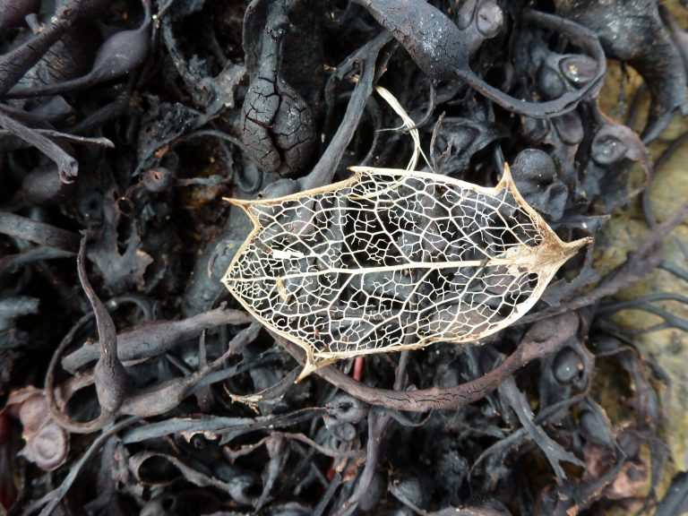 Leaf skeleton of Holly on e bed of seaweed