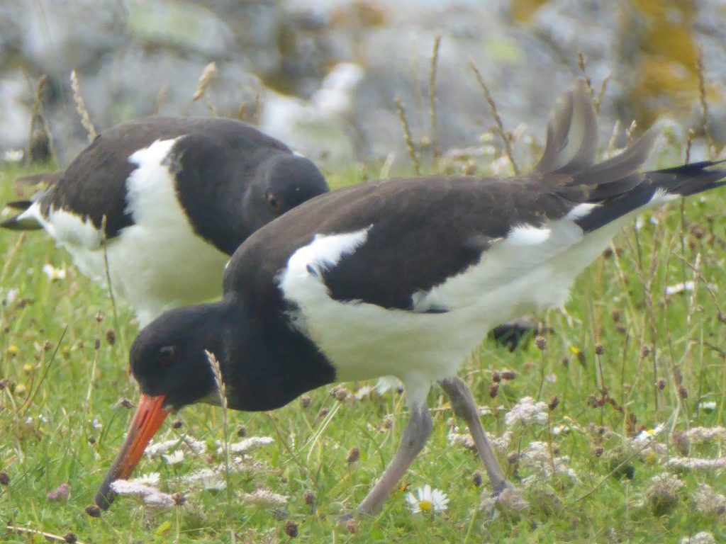 Portrait of two oyster catchers serching for food.