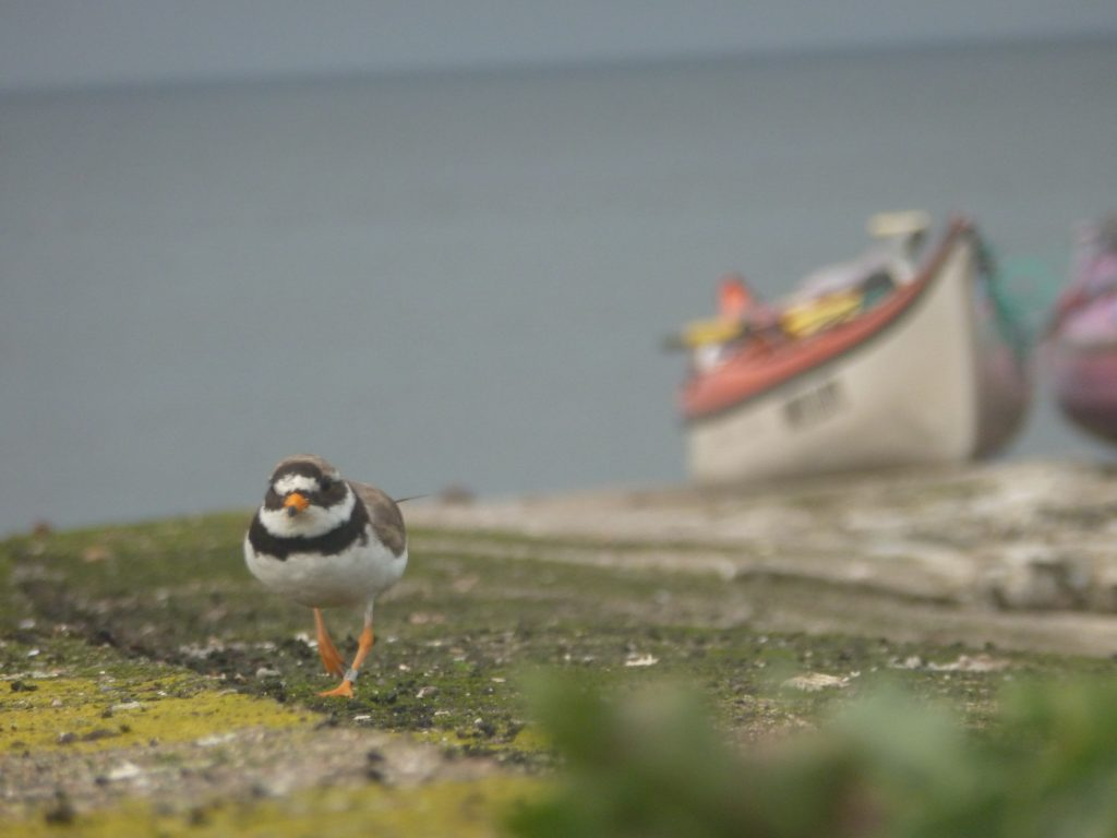 Piping plover with kayak in the back ground.