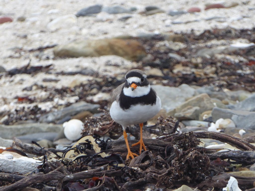 Piping plover in it's natural habitat
