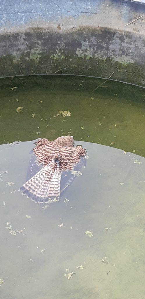 Kestrel drowning in a water tank