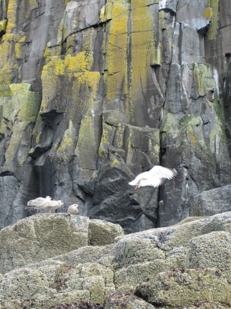 Herring Gull feeding chicks